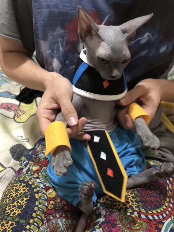 Кот отлично косплеит Beerus из Dragon Ball